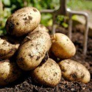 Wonderful potatoes