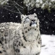 Wonderful snow leopard
