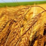Wheat – Bread of Life