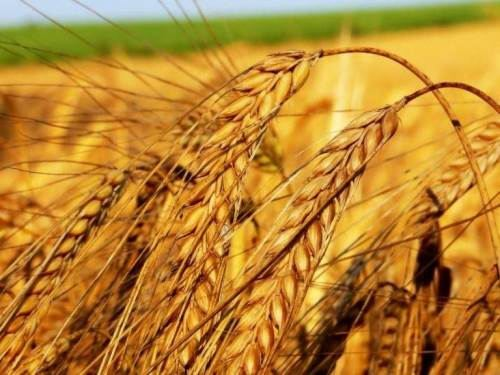 Wheat - Bread of Life