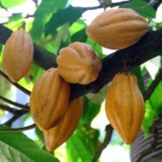 Yellow cacao tree pods