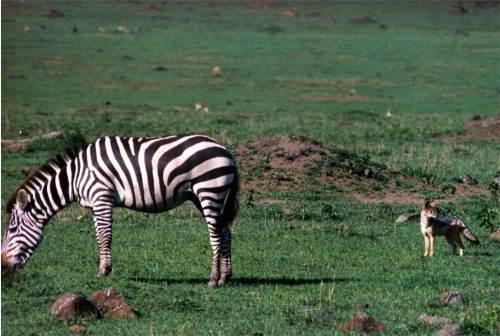 Zebra and Jackal