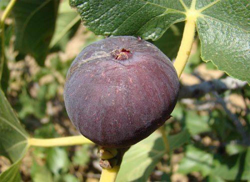 Amazing fig
