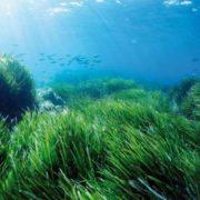 Attractive algae