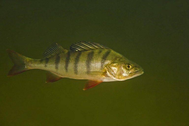 Attractive bass