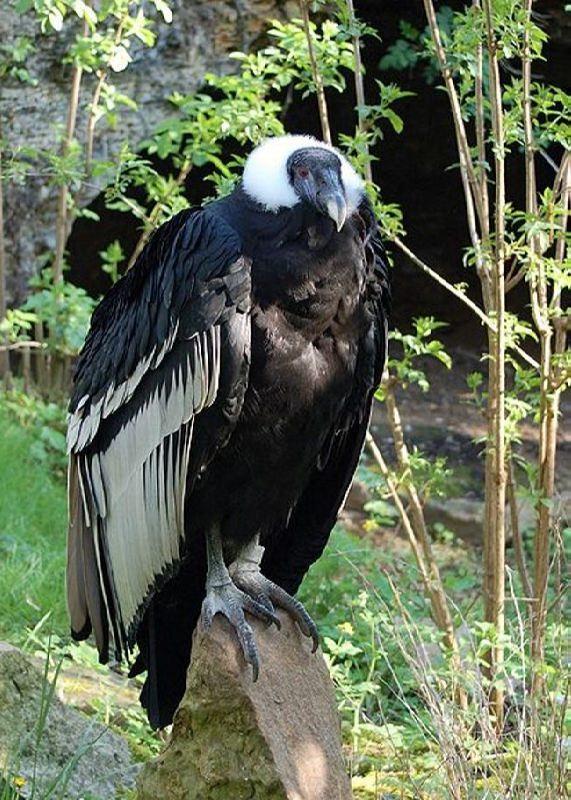 Attractive condor