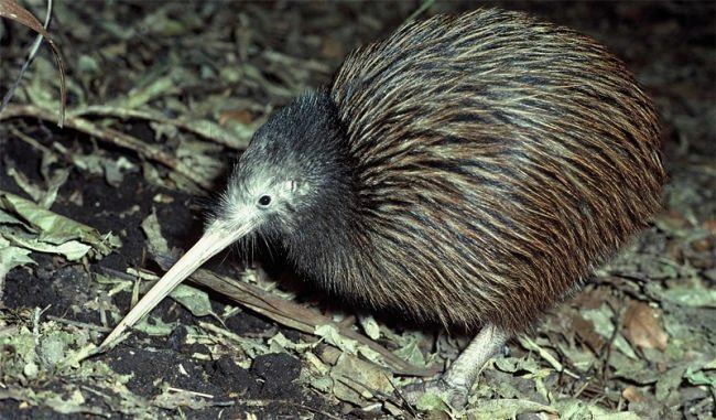 Attractive kiwi