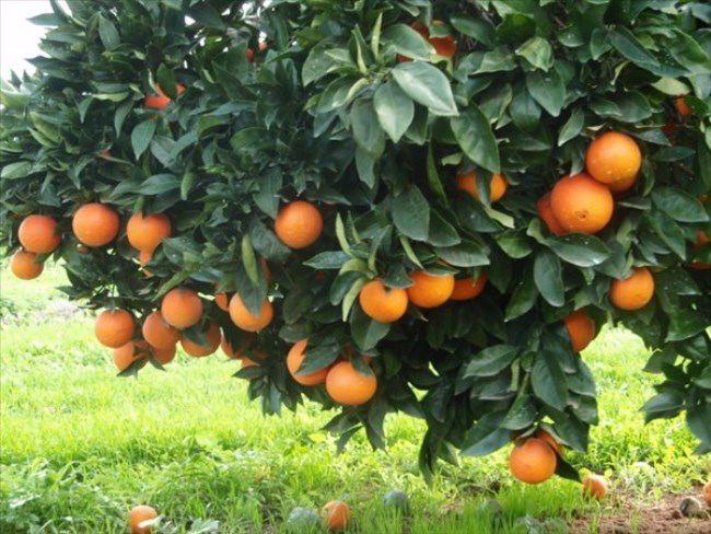 Awesome orange tree