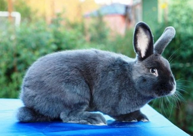 Viennese Blue Rabbit