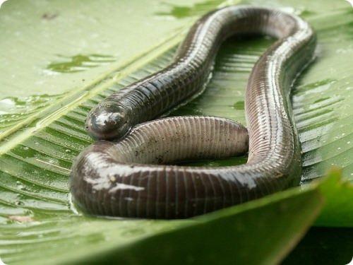 Caeciliidae