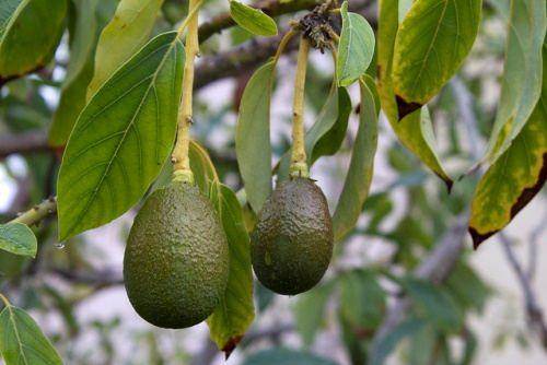 Charming avocado