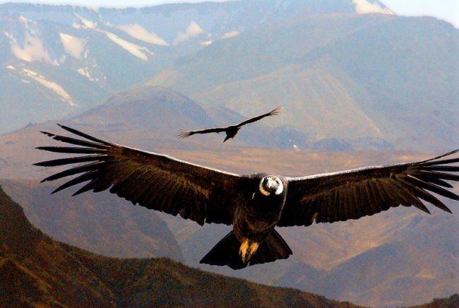 Cute condor