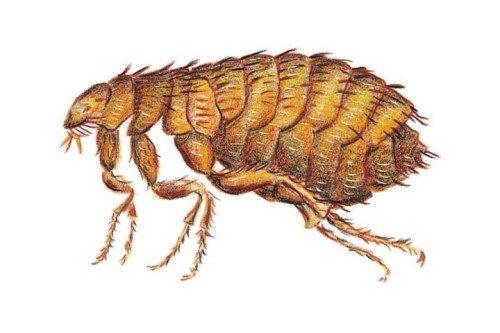 Dangerous flea