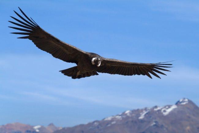Gorgeous condor
