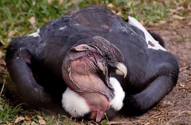 Great condor