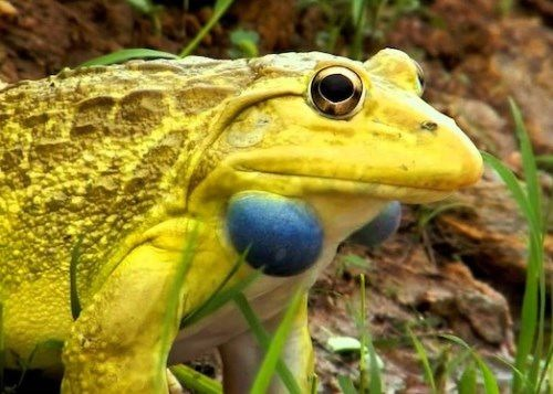 Hoplobatrachus tigerinus, the Indus Valley bullfrog or Indian bullfrog