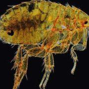 Interesting flea