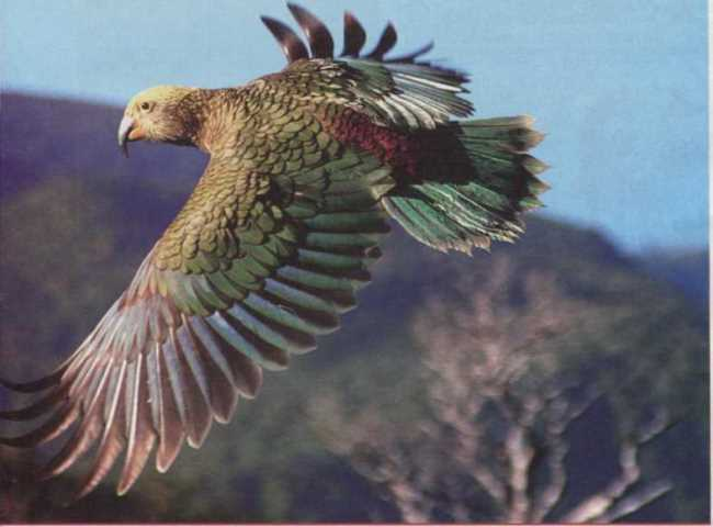 Kea is a mountain bird