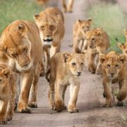 Lion family in the territory of the Masai Mara reserve, Kenya