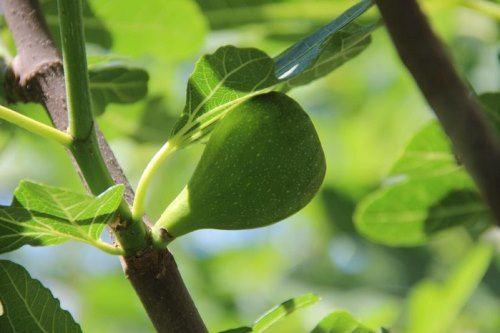 Lovely fig