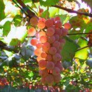 Lovely grape