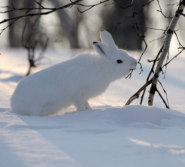 Magnificent hare