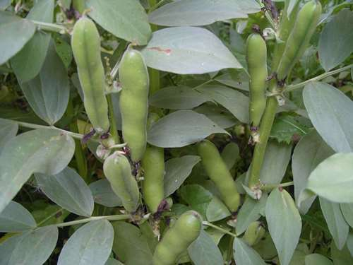 Pretty beans