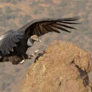 Pretty condor