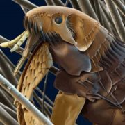 Pretty flea