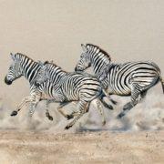 Running zebras Karen Laurence-Rowe