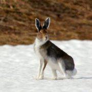 Stunning hare