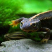 Sword-tail newt