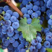 Tasty grapes