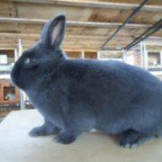 Viennese Blue Rabbit