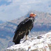 Wonderful condor