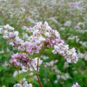 Attractive buckwheat