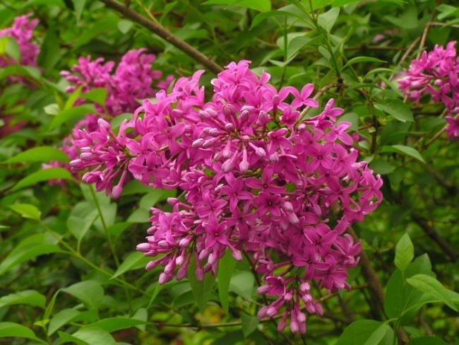 Attractive lilac