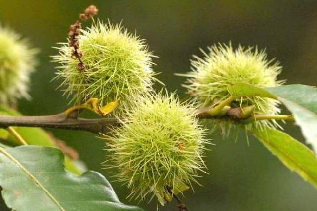 Beautiful chestnuts