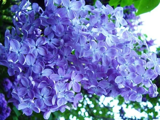 Beautiful lilac