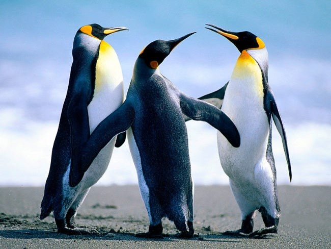 Beautiful penguins