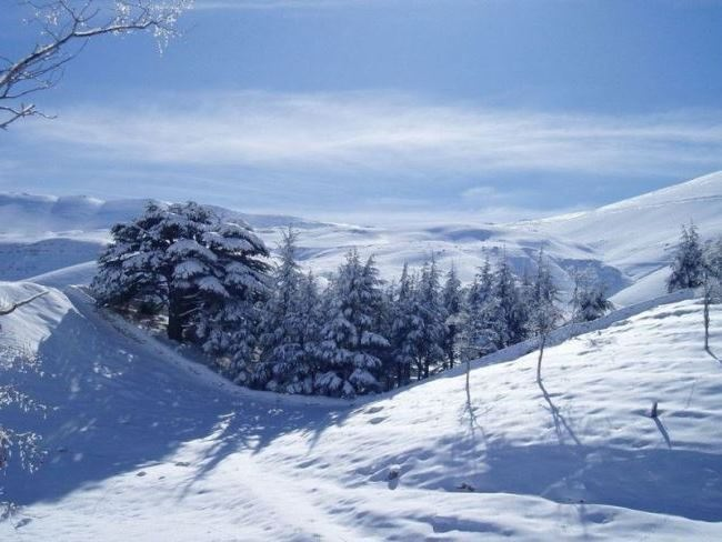 Cedars in winter