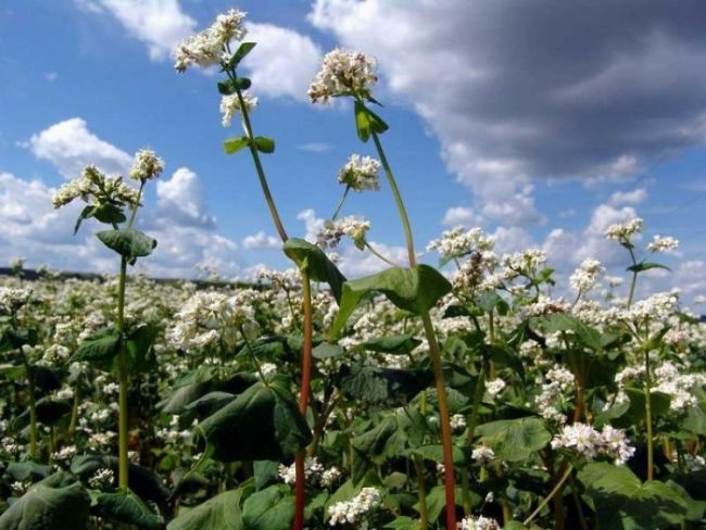 Charming buckwheat flowers