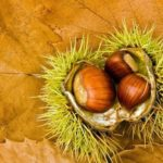 Chestnut – sweet-tasting nut