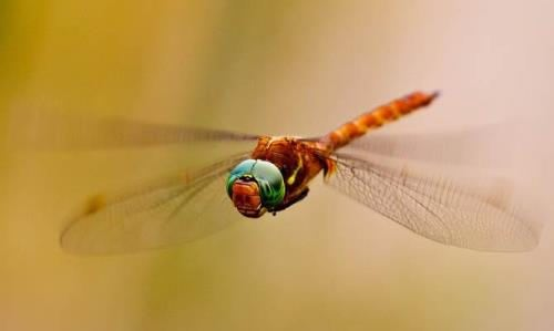 Dragonfly - insect with ancient wings