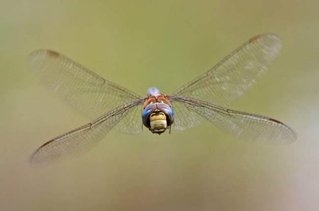 Flying dragonfly