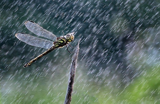 Graceful dragonfly by Iwan Pruvic