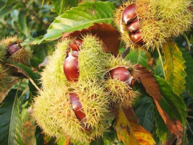 Interesting chestnuts