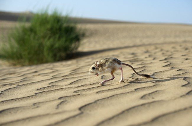 Jerboa in the desert