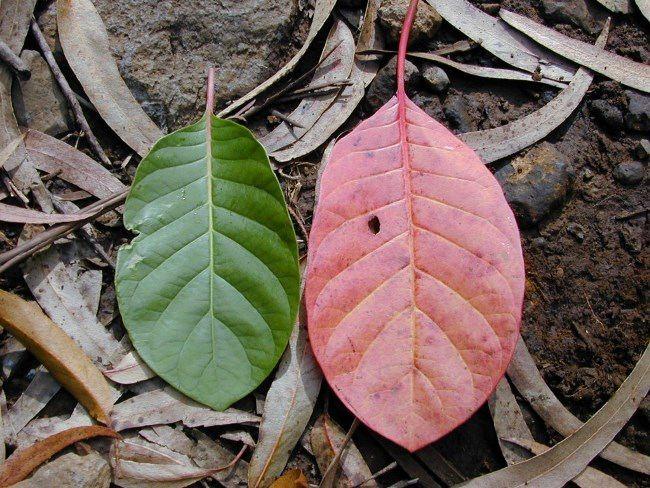 Leaves of Lawsonia inermis