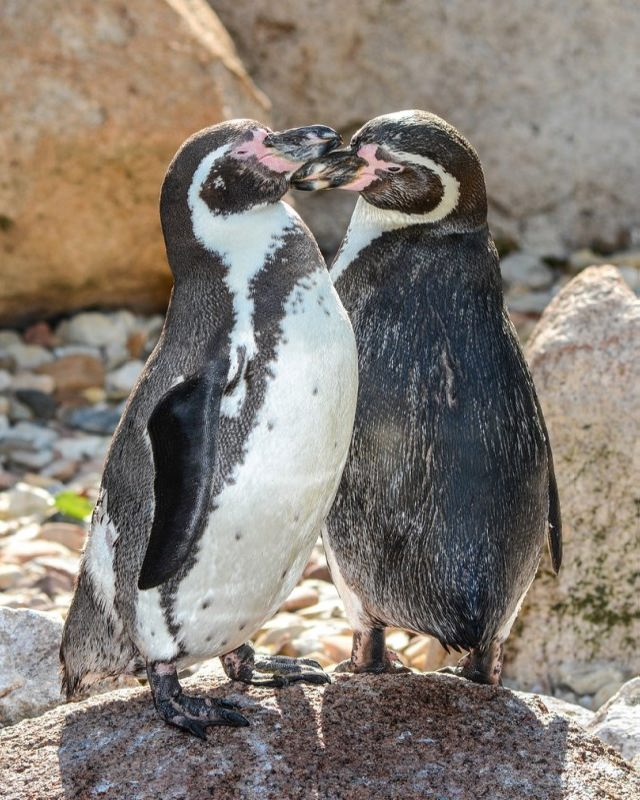Loving penguins